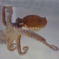 Saltwater Aquarium Inverts for Marine Reef Aquariums: Octopus - Assorted