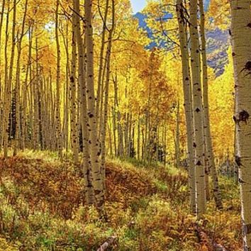 Autumn Aspen Forest Aspen Colorado by Lena Owens/OLenaArt