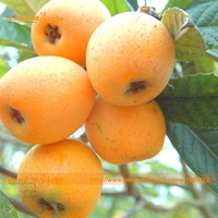 5 Seeds/Pack, Giant Japanese Plum Loquat Tree Plant Seed, 90% Germination Fruit Tree Seed, Loquat Fruit Seed-Land Miracle