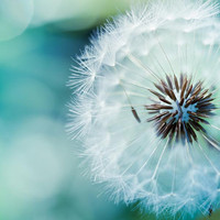 Fine art photography - dandelion nature photography 5x5 - blue green teal spring macro print - still life