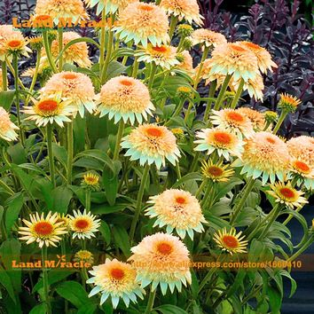 Rare Coneflower Flower Light Orange Echinacea Seeds, 20 PCS - Heirloom 'Puff Vanilla' Variety Bonsai True Seeds-Land Miracle