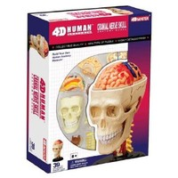 4D Puzzle Human Anatomy 3D Model Cranial Nerve Skull Biology Medical Education Toy