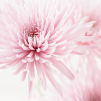 Flower Photography - First Crush