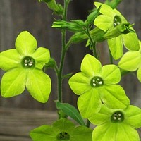 Nicotiana Lime Green Seeds (Nicotiana Alata) 100+Seeds