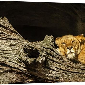 Lounging Lioness Canvas Wall Art Print