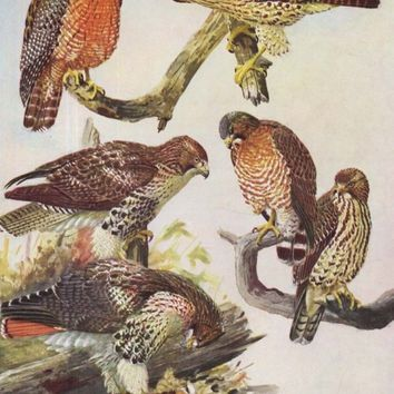 Hawk Eagle Birds Of Prey Fuertes Vintage Print 1955 Original Natural History Lithograph To Frame
