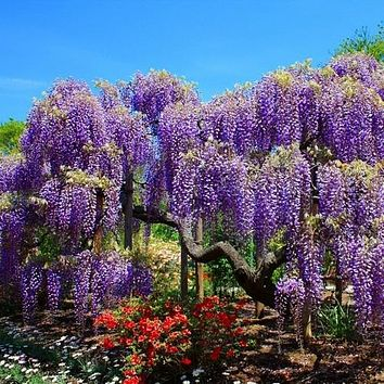 Chinese Wisteria Seeds (Wisteria sinensis) 5+Seeds