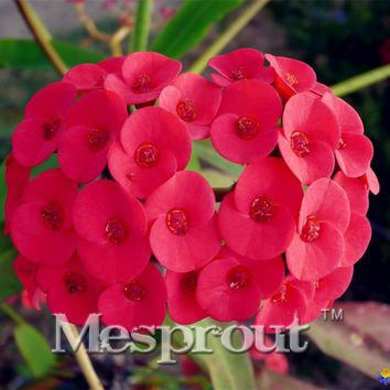 Euphorbia Milii Hybrid Mix Middle 100 seeds Big Flowers Crown Of Thorns Seeds Graptopetalum Rusbyi garden rare Flowering Plants