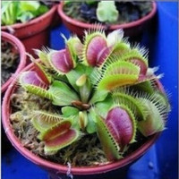 Potted Insectivorous Plant Seeds Giant Clip Venus Flytrap Seeds 100pcs
