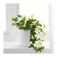 HEDERA HELIX Potted plant Ivy 13 cm - IKEA