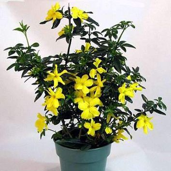 "Golden Primrose Jasmine - Stunning Yellow Blooms - 4"" Pot"