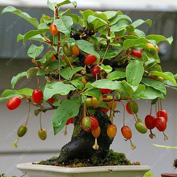 10 pcs/bag Cornelian Cherry seeds, ( cornus dogwood ), A fruit seeds for Europe, sweet bonsai potted plant for home garden