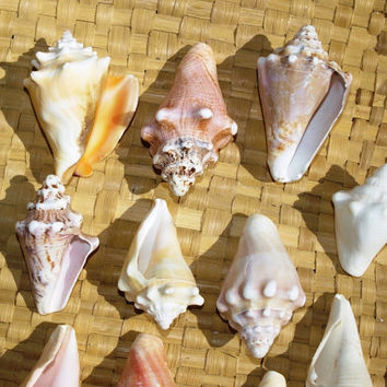 11 Haitian Fighting and Queen Conch Seashells, beach decor, crafts, DIY, beach wedding, cottage, Cribbean seashells