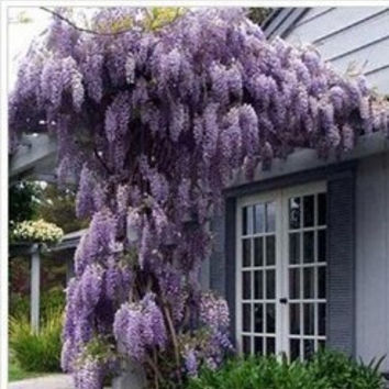10 seeds/pack hot selling Purple Wisteria Flower Seeds for DIY home garden