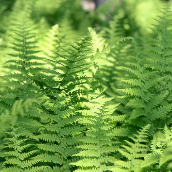 Bright Green Fern Photo- Woodland Art Print - Nature Photography