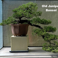 "Japanese Juniper Bonsai Starter Tree - 4"" pot - Juniperus procumbens 'Nana'"