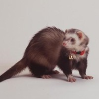 Marshall Pet Ferret Bell Collar Red