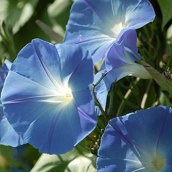 Morning Glory Heavenly Blue Flower Seeds (Ipomoea Tricolor) 50+Seeds