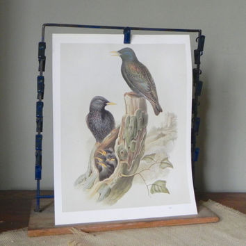 Vintage book plate print of two black bird with speckled feathers with young in nest in tree stump with moss on it