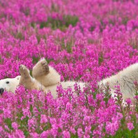 Playful Photos of Polar Bears Frolicking in Flower Fields during Summer