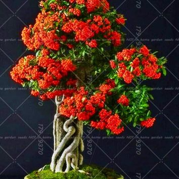 50pcs/bag red Pyracantha fortuneana seeds Bonsai tree fruit seeds perennial indoor or outdoor landscape plant Novel pot plants