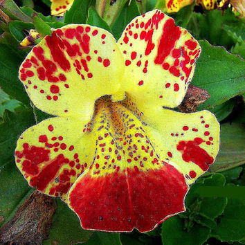 Tiger Monkey Flower, 200 seeds, Mimulus tigrinus, Clown Flower, all zones 3 to 9, moist soil, dappled shade, easy to grow, hummingbirds