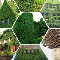 100 True Green Boston Ivy Seeds Outdoor Wall Creepers | Parthenocissus Tricuspidata Vine Climbing Tree Seeds Home Garden Plants Decor