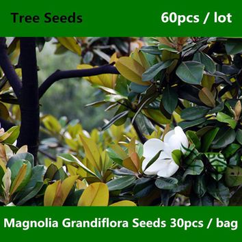 ^^Widely Cultivated Magnolia Grandiflora Seeds 60pcs, Family Magnoliaceae Southern Magnolia Seed, Ornamental Plant Bull Bay Seed