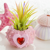 Pink Sputnik Sea Urchin with Tillandsia Air Plant (airplant included) ~ Red when in bloom ~ Gift ~ Housewarming ~ For Her