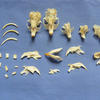 Cruelty Free • No. 016 Rodent Skulls Lot | Real Rodents Specimens Curio Mouse Mice Owl Pellets | Taxidermy Specimen Curio