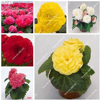 Imported Begonia Seed, Colorful Flower Indoor Desk Decor, Beautiful Semillas De Plantas Raras Bonsai Herb Flower Plante 100 Pcs