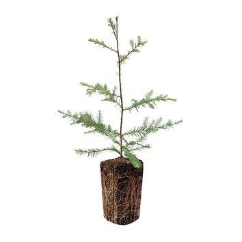 Coast Redwood | Live Tree Seedling (XL) | The Jonsteen Company