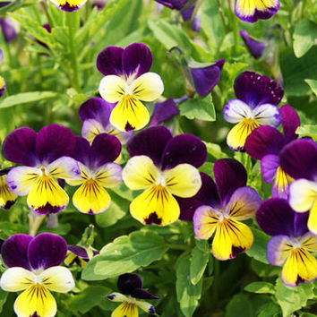100 Johnny Jump Up Viola Tricolor Pansies Flower Seeds Beautiful Heirloom Organic Home Garden Decor Plants Wild Pansy