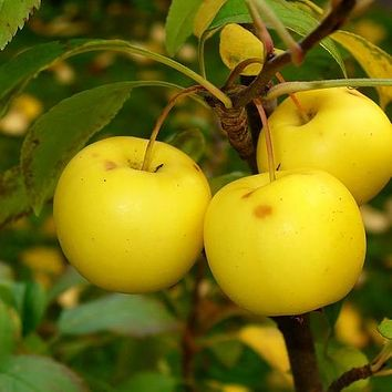 European Crab Apple Tree Seeds (Malus sylvestris) 15+Seeds