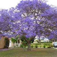 LIVE JACARANDA Tree Buy 4 Get One Free Special Purple Blue Flowers Tropical Plant Fern Leaf Beautiful Plant