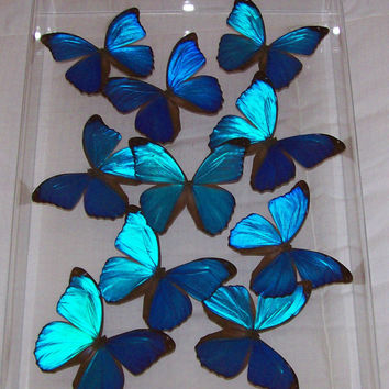 Real Stunning Swarm of Iridescent Blue Morpho Butterflies