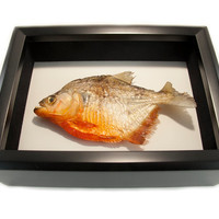 Real Taxidermied Animals Piranha Mount Shadow Box