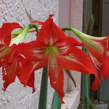 SEEDS Amaryllis Hippeastrum 2011 Season by TheMaineCoonCat on Etsy