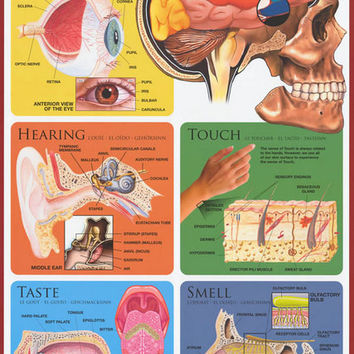 The Five Senses Anatomy Poster 24x36
