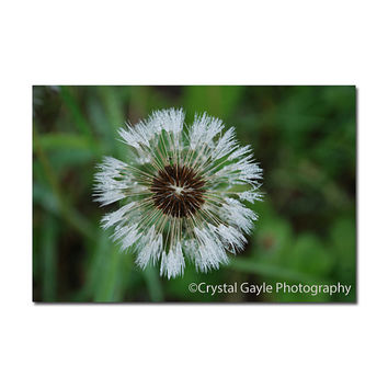 Dandelion Wildflower Fine Art Photography home decor wall art green white Custom Size