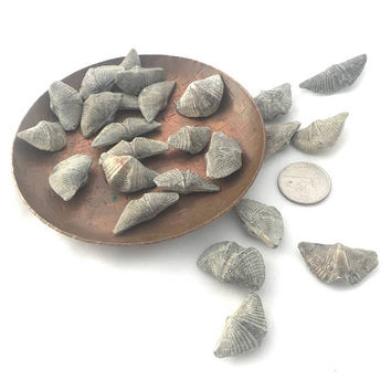 Set Brachiopods, Brachiopod Fossils, Fossils for Kids, Wire Wrap, Make Jewelry, Collect Fossils, Gift for Boy, Ontario Fossil, Mucrospirifer