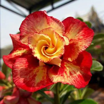 Unique Gold Red Mixed Desert Rose Flowers Seeds Perennial DIY Home Garden Bonsai Pot Blue Color Adenium Obesum Plant Seeds 1PCS
