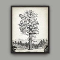 Sequoia Tree Art Print - Giant Redwood Tree - Vintage Tree Home Decor - Tree Book Plate Illustration - Giant Sequoia - AB516