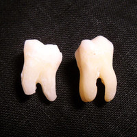 2 Premium Real Human Teeth Taxidermy Bone Teeth by EvasFeathers