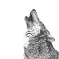 "This is ""Wolf Song"" a 14x11 graphite print."
