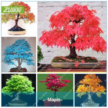 ZLKING 20 Pcs Blue Fire Maple Tree Seeds Bonsai Tree Seeds Rare Yellow Red Japanese Maple Seed Plants For Home Garden Flower