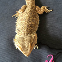 Adorable Toy Rubber Lizard on a cotton Leash for your Pet Bearded Dragon