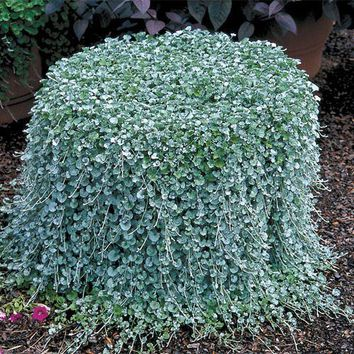 100 Dichondra Repens lawn seed money grass hanging decorative garden plants do flower seeds free shipping