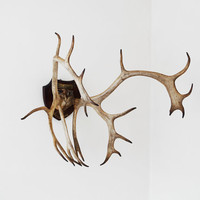 German mounted Caribou trophy by Spheres on Etsy
