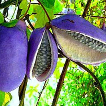 Akebia trifoliata, Chocolate Vine, 10 seeds, fragrant blooms, Japanese heirloom, cold hardy, sweet purple fruit, blooms in sun or shade